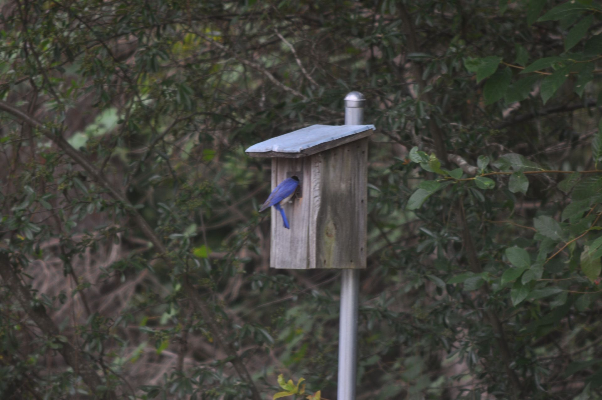 Blue Bird feeding.jpg