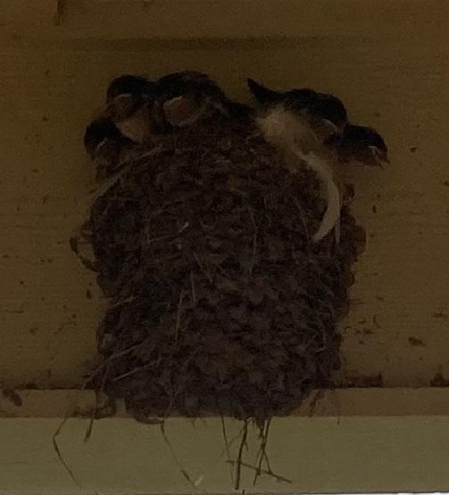 Swallow Chicks.jpg